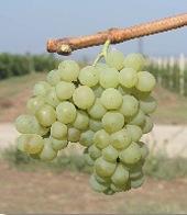 Bulgaarse druif Dimyat