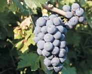 bulgaarse-druif-gamza