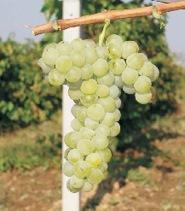 Bulgaarse druif Tamyanka